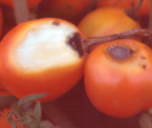 sunscald tomatoes greenhouse