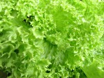 Lettuce deficiency and toxicity symptoms of macro and micro elements
