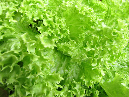 greenhouse hydroponic commercial lettuce crisp iceberg