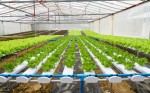 Planting density of various vegetable crops in hydroponic systems