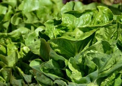 tipburn in lettuce