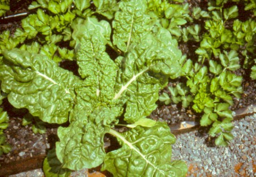 swiss-chard-spinach-gravel-culture-system