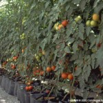 hydroponics open system bags growth sawdust tomatoes