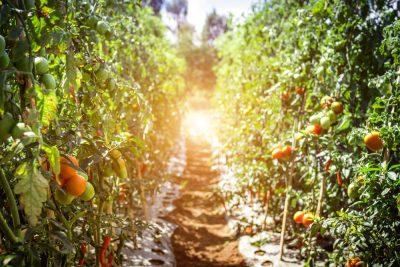 hydroponic tomato farming mulch