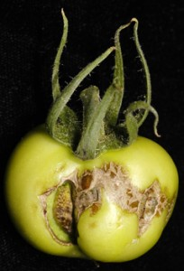 zippering tomatoes hydroponics greenhouse