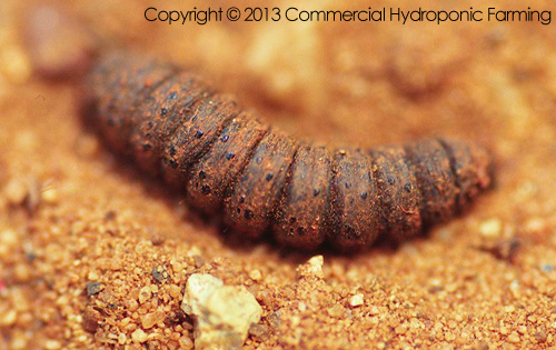 Several species of cutworms may injure vegetable seedlings and newly set plants in the field.  Larvae hide under clods and in cracks in the soil by day and appear at night cutting off young plants near the ground and feeding on the foliage.  The black cutworm is one of the most destructive cutworms. One larva often severs numerous seedlings in a row during a single night