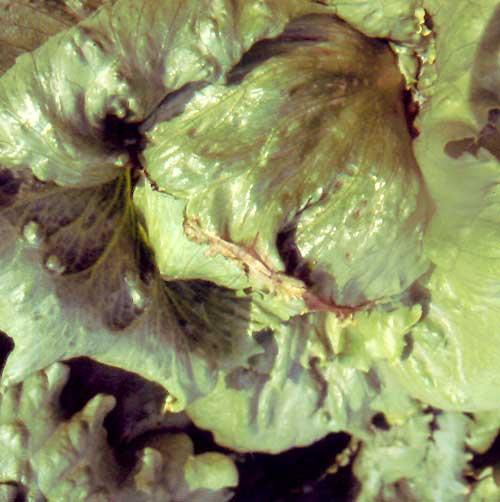 grey mould damping-off lettuce