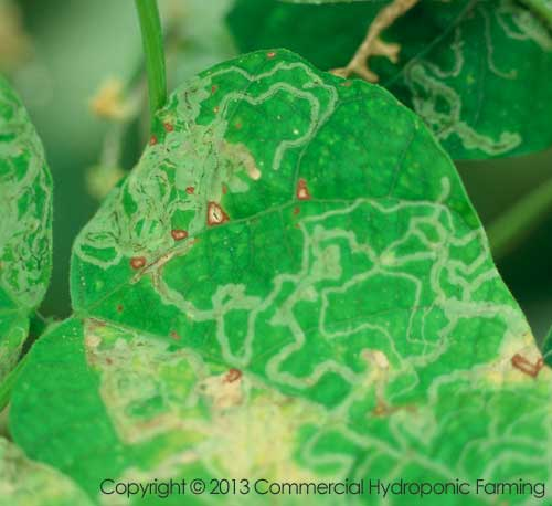 Leaf miner damage on leaves.  Unmistakable tunnels made by the pest.