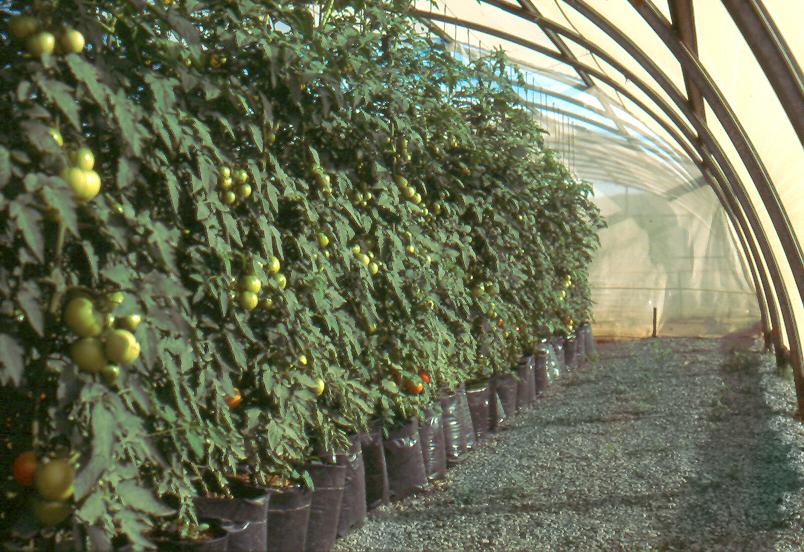 Commercial Hydroponic Farming | Trellising tomato plants in