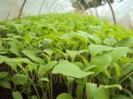 brinjal eggplant greenhouse hydroponics nursery young seedlings tunnel
