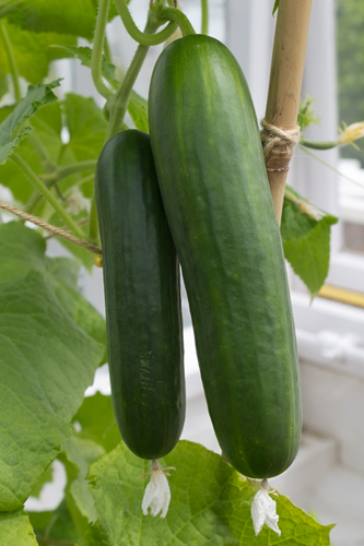 cucumbers hydroponic greenhouse cucumbers commercial farming