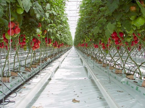nft greenhouse tomato production commercial hydroponics rockwool