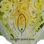lettuce head formation