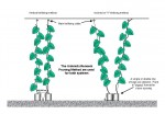 """Trellising greenhouse cucumbers vertically or in a """"V""""-shape"""