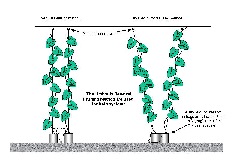 "Trellising greenhouse cucumbers vertically or in a ""V""-shape"