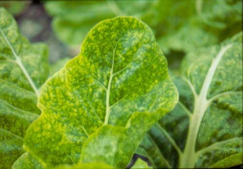 spinach hydroponics downy mildew fungus disease